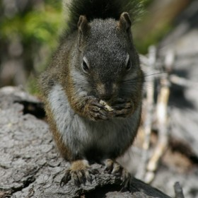 Rocky Mountain Squirrel