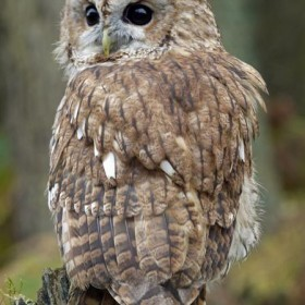 Button the tawny owl