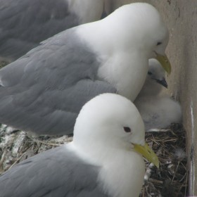 Kittiwakes Baltic