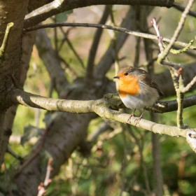 Robin in Spring
