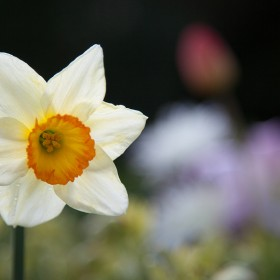 Solitary Narcissus