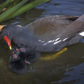 Moor Hen Mother and Chick