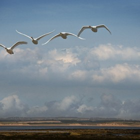 Swans Over Druridge Bay