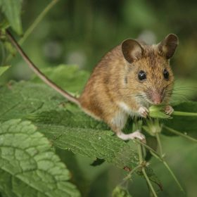 Elspeth Peddie  - Woodmouse