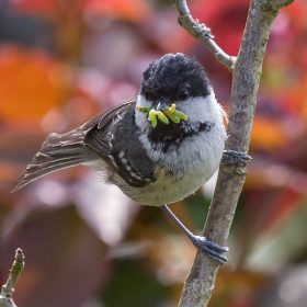 Bill Norfolk  - Coal Tit With Caterpillars