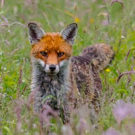 Bill Norfolk - Early Morning Fox
