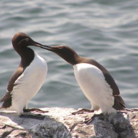 June Atkinson - Bridled Guillemot  Mate