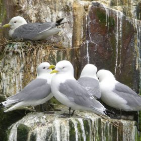 June Atkinson - Kittiwakes Farnes