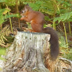 June Atkinson - Red Squirrel