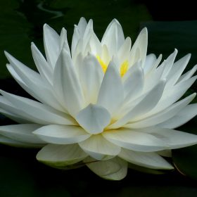 Water Lily by Kath Guellard