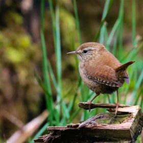 Rothley Wren by Les Dodd