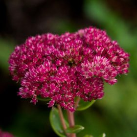 Sedum Spectabile by Jane Ainsworth