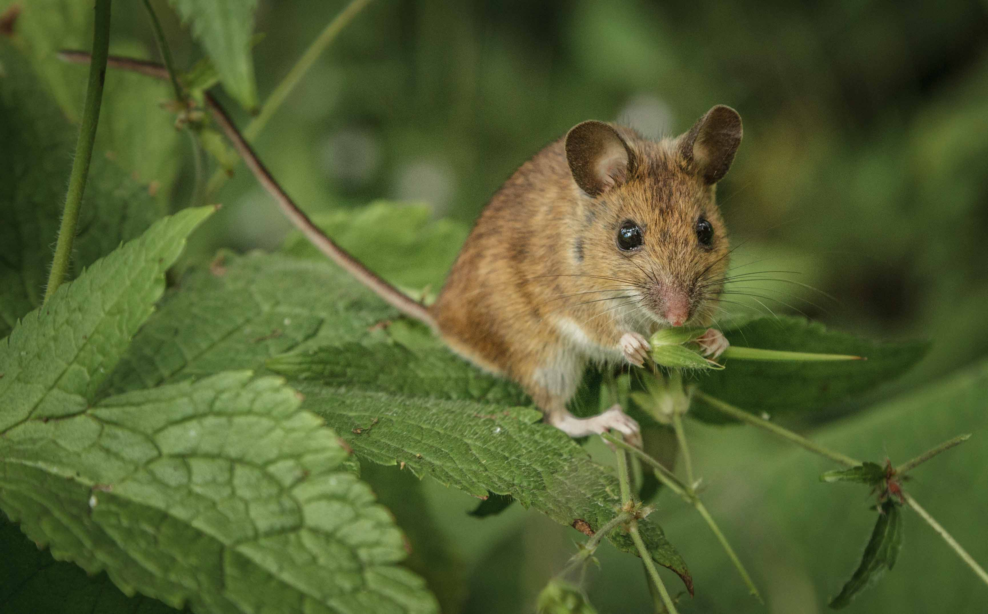 1st Woodmouse by Elspeth Peddie