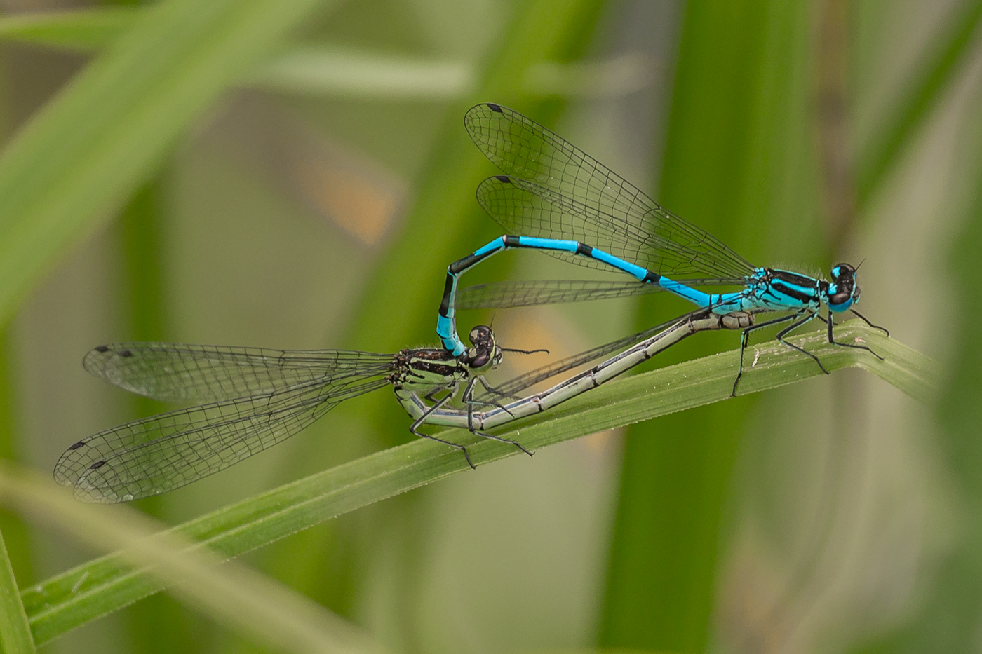 3rd Bill Norfolk Wicken Fen Damselflies