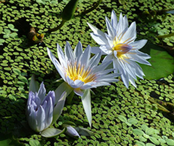 =3rd Mike Sadler Pond Lillies