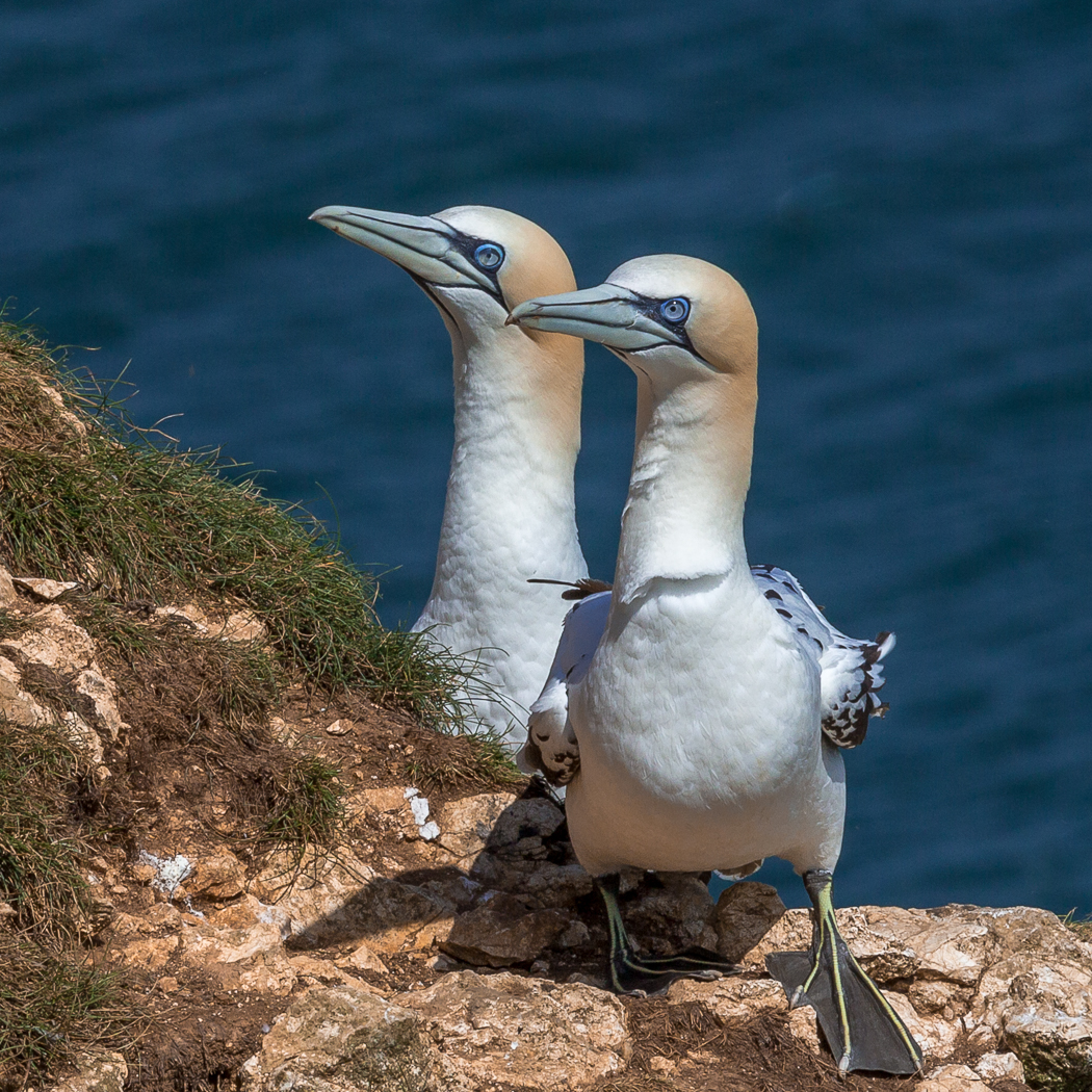 3rd Gannets by Tony McCann