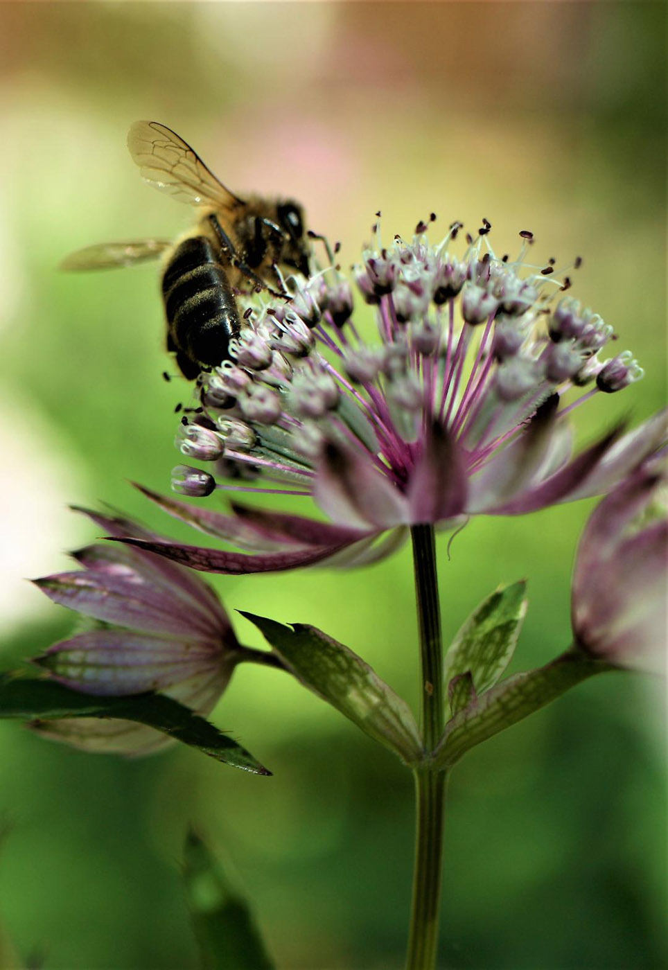 Bee on Astrantia by Val Spencer