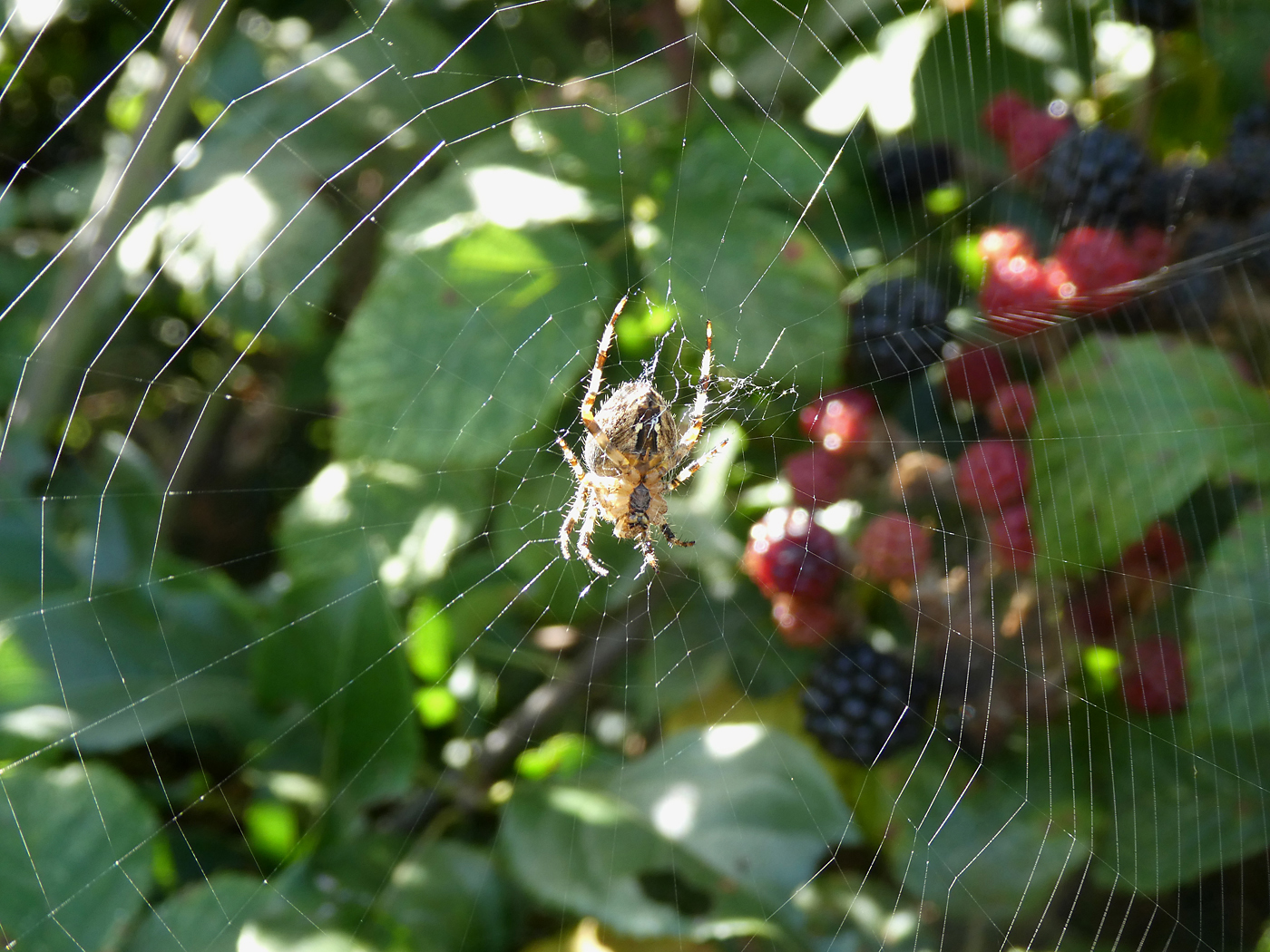 Blackberry Web by Kath Guellard