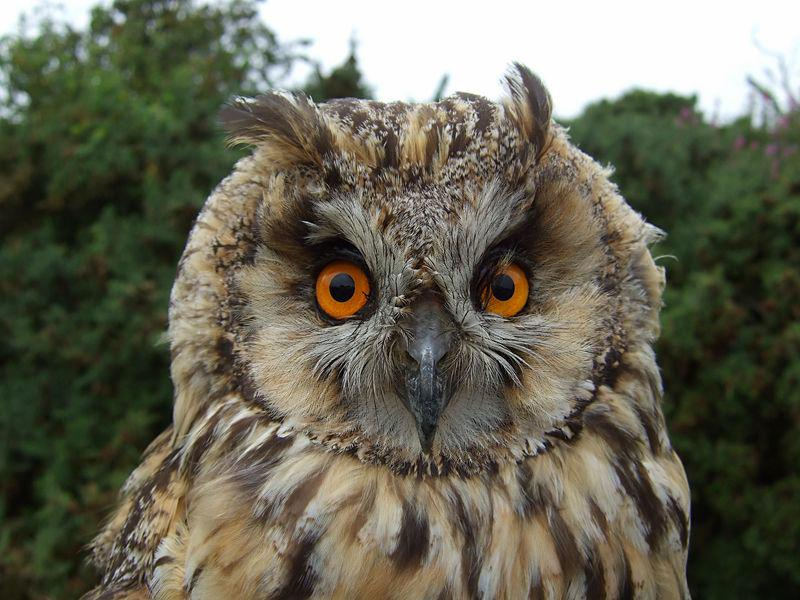 Eagle Owl by June Atkinson
