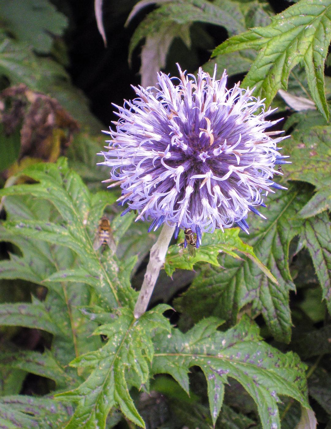 Echinops by Tony Phillips