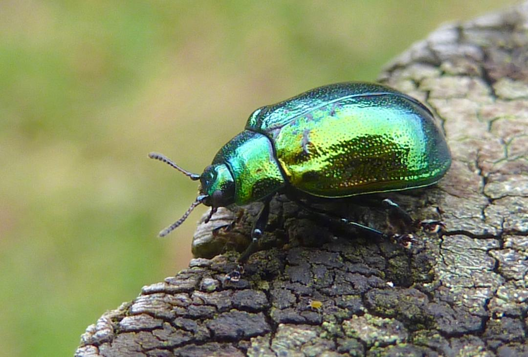 Mint Leaf Beetle - Scotland by Mike Sadler