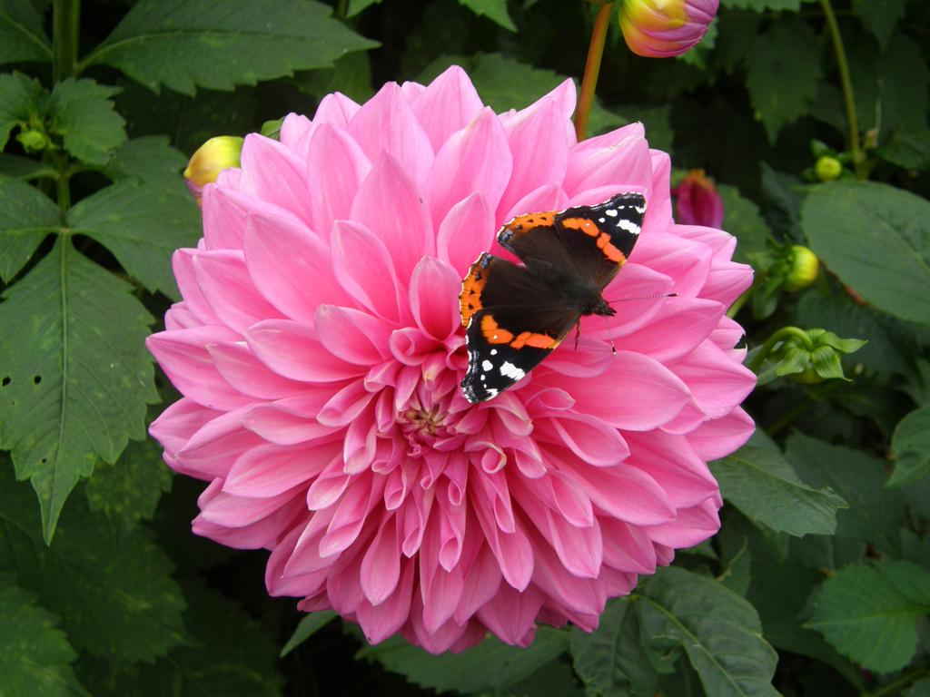 Red Admiral on Dahlia by June Atkinson
