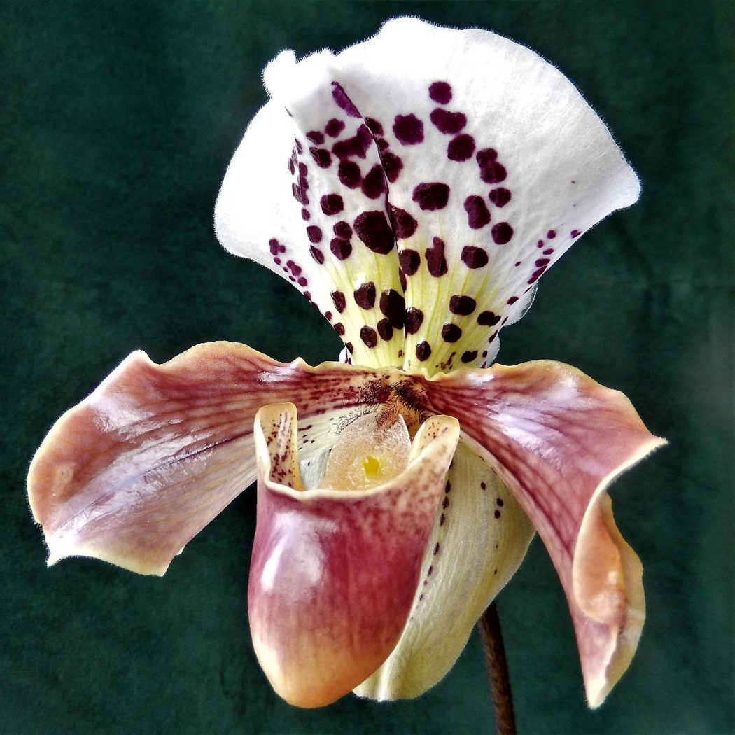 Slipper Orchid by Val Spencer