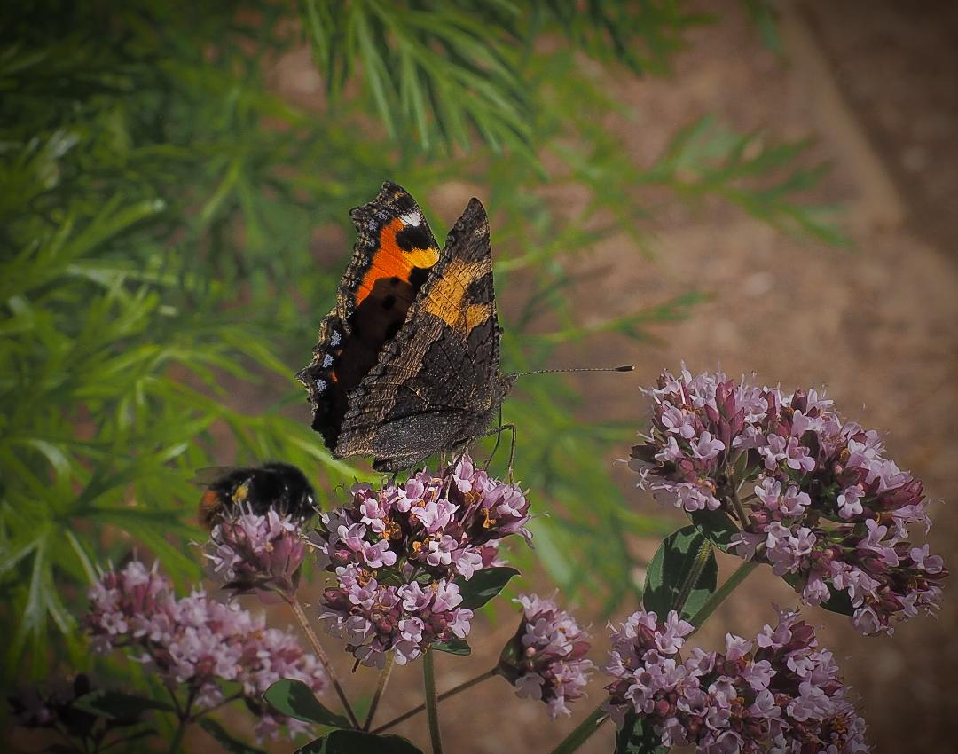 Small Tortoiseshell by Hank Craggs