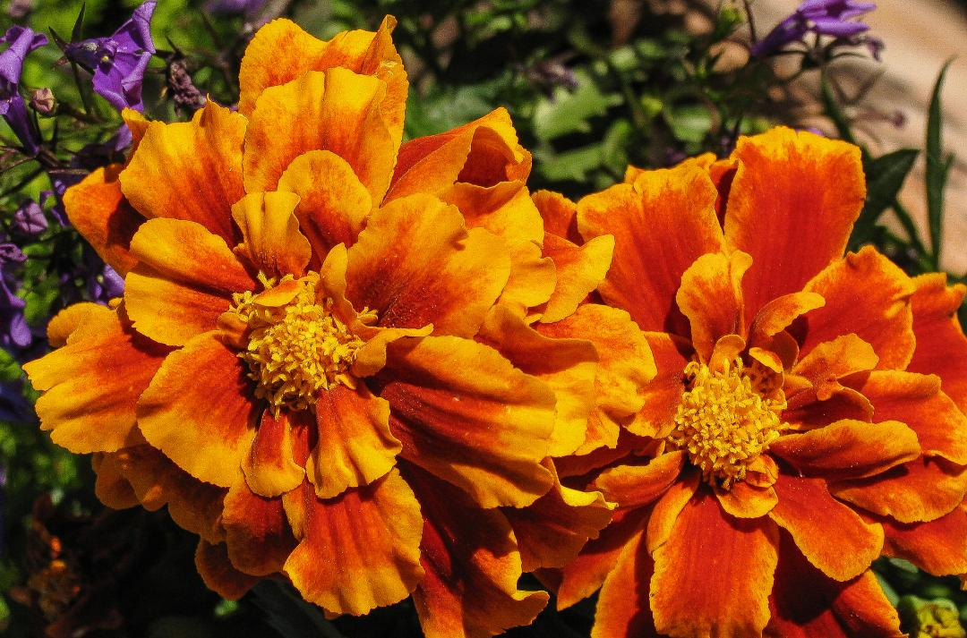 Tagetes by Tony Phillips