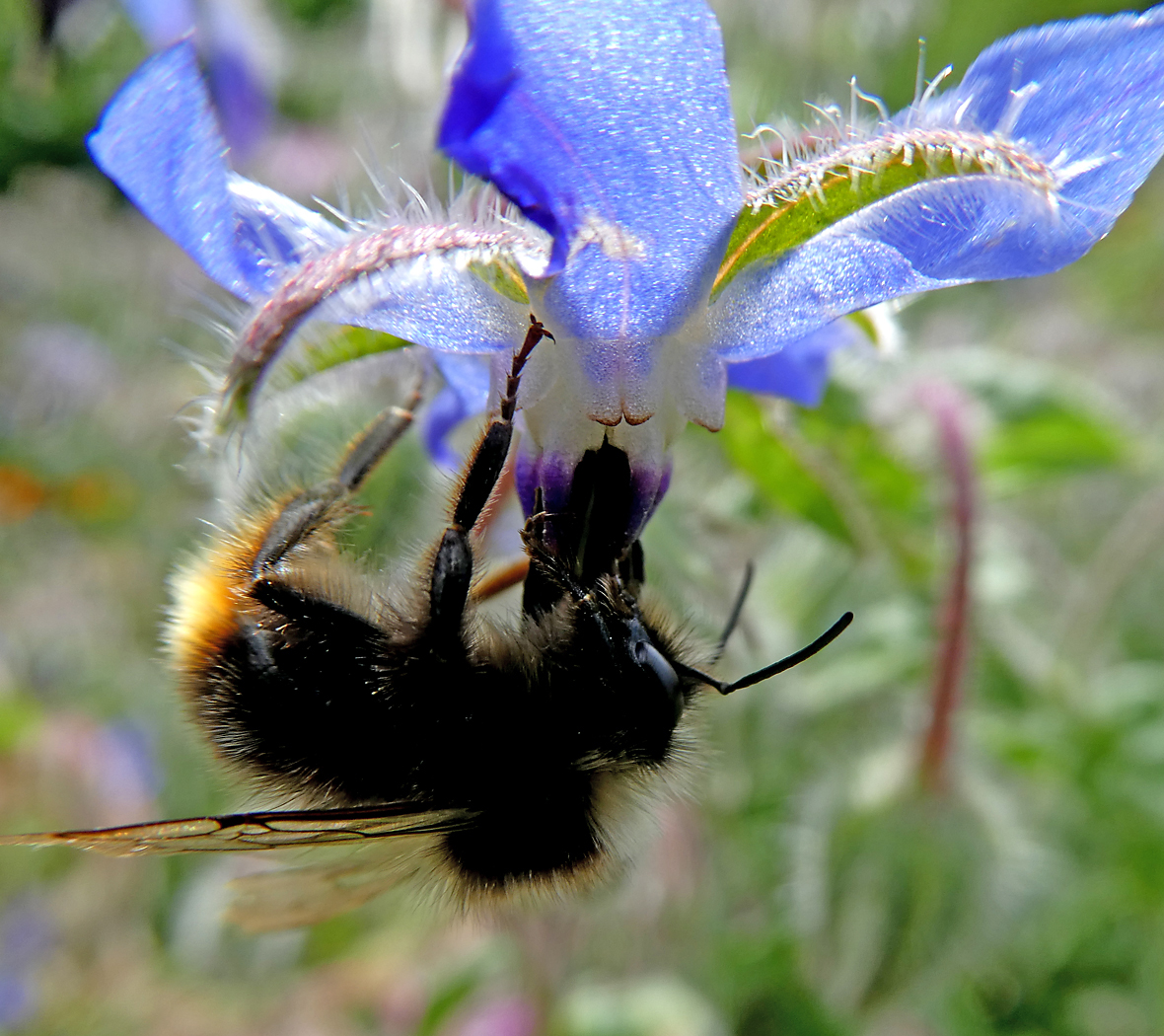 Under Borage Bee by Kath Guellard
