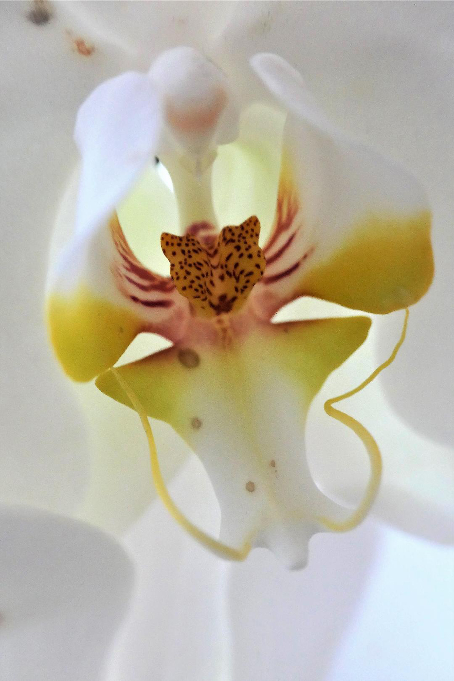 White Orchid by Val Spencer