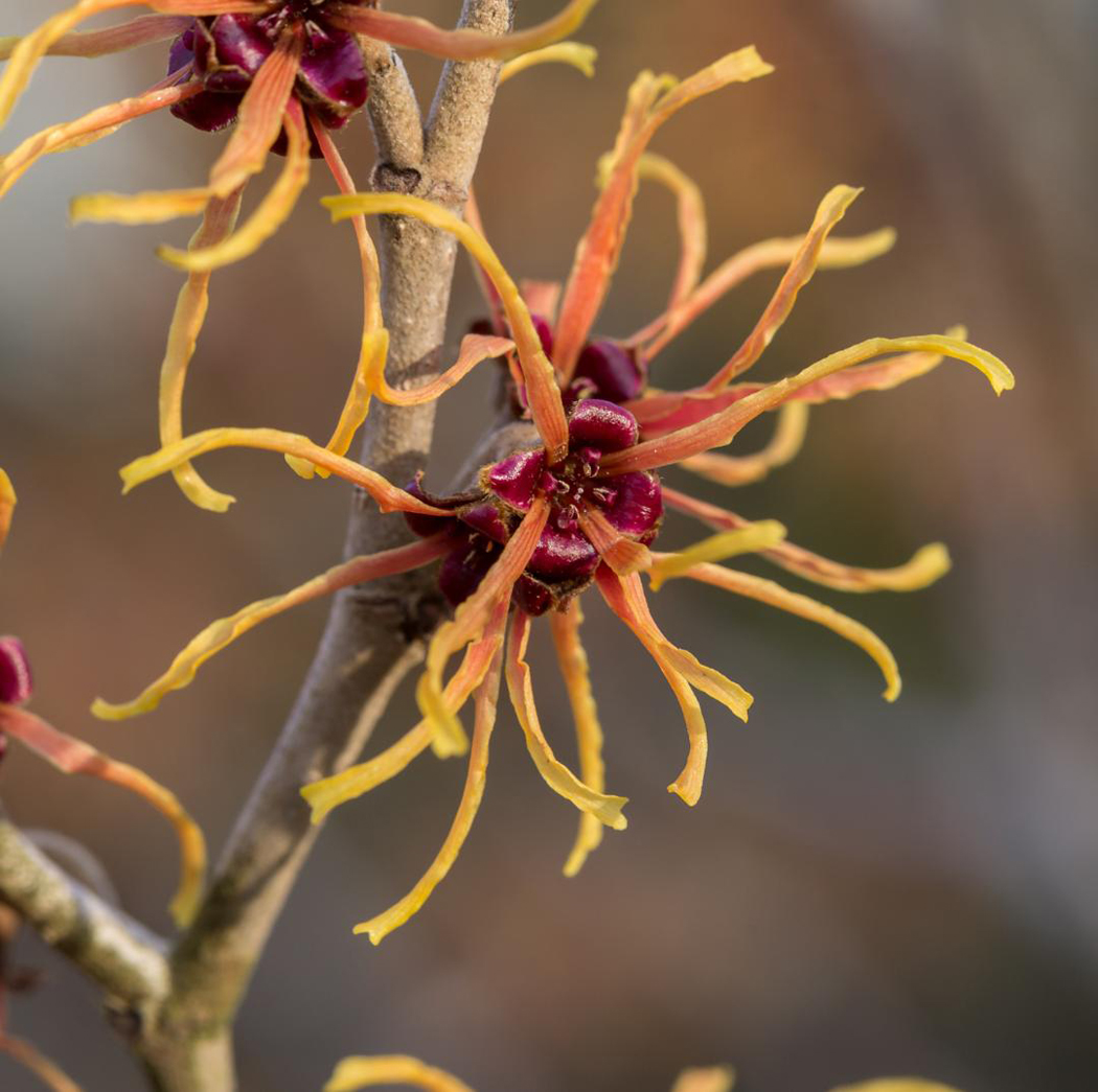 Yellow Witch Hazel by Bill Norfolk